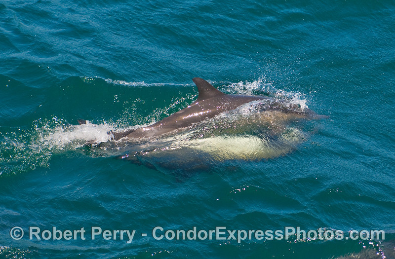 The embrace.  Common Dolphins (Delphinus capensis) mating at full speed.