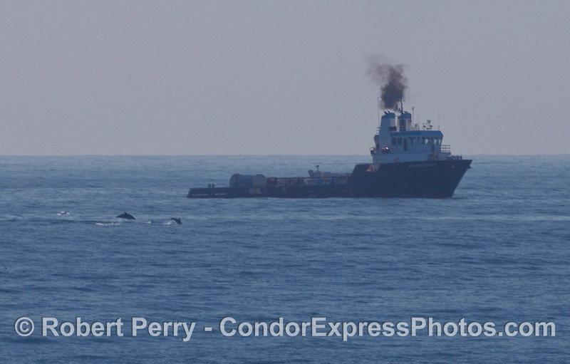 """The oil spill clean up vessel """"Clean Ocean"""" with Common Dolphins (Delphinus capensis)."""