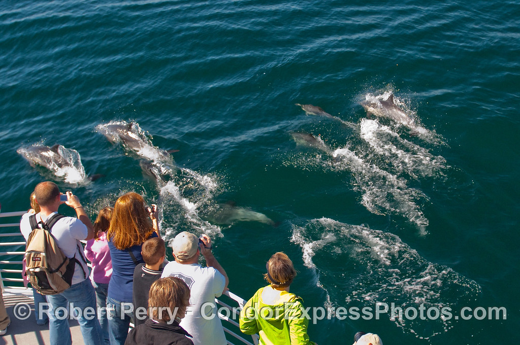 More friendly Common Dolphins (Delphinus capensis) come by the boat to see what is up.