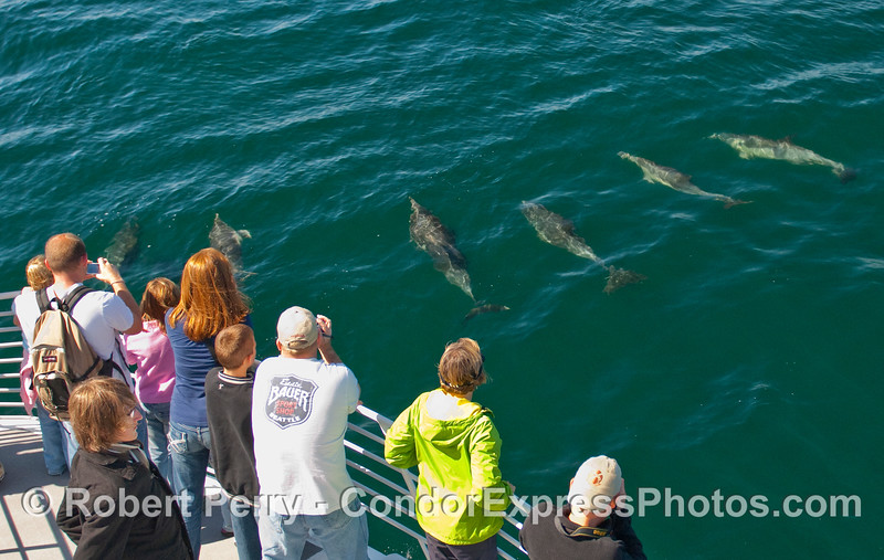 Common Dolphins (Delphinus capensis) pay a visit to the whalers on board the Condor Express.
