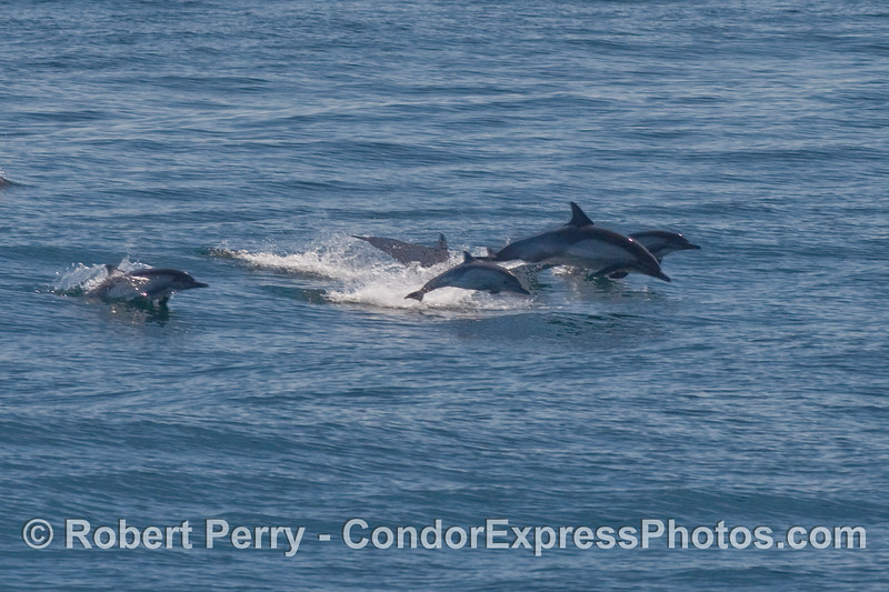Common Dolphins (Delphinus capensis) leaping over the waves.