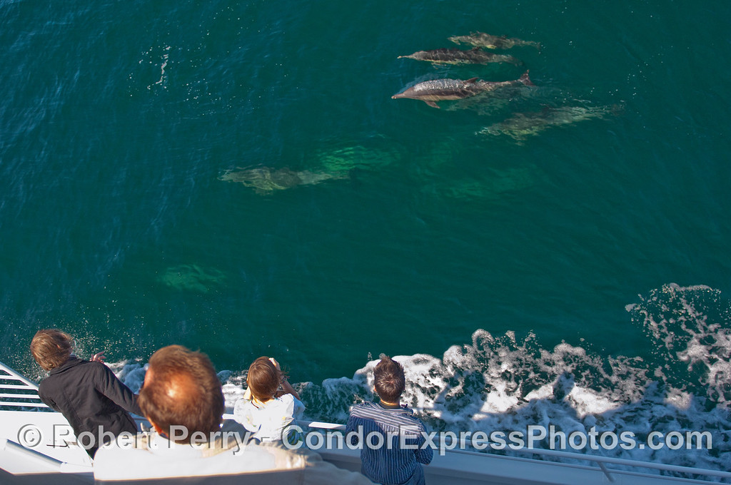 Common Dolphins (Delphinus capensis) near the Condor Express and whalers.