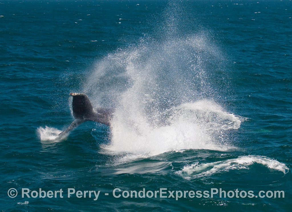 "A might Humpback Whale (Megaptera novaengliae) does a ""tail throw"" to excite the whalers on the Condor Express."