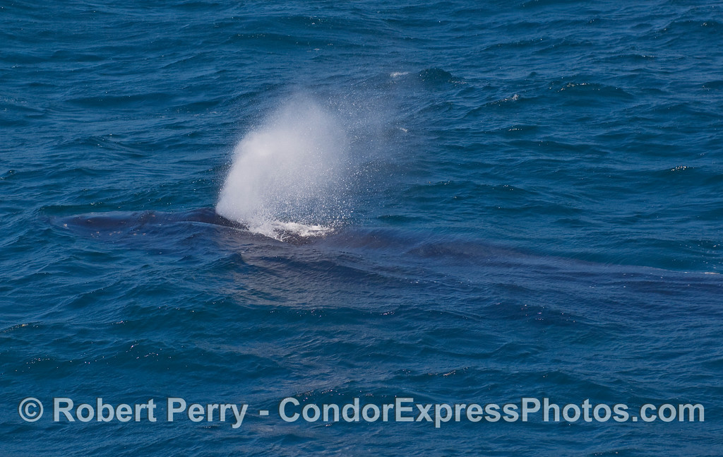 A Humpback Whale (Megaptera novaengliae) spouts while almost completely submerged.