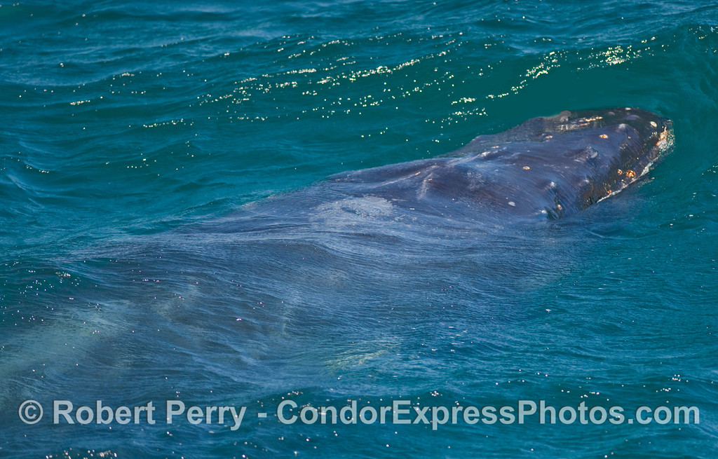 Enormous body of a Humpback Whale (Megaptera novaengliae) seen just beneath the ocean surface.