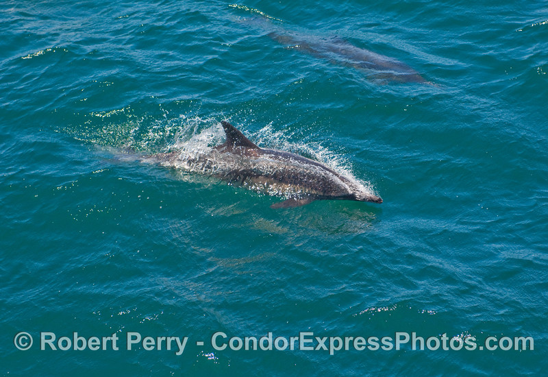 One zooming Common Dolphin (Delphinus capensis).
