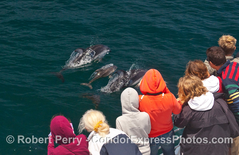 The Pacific White-sided Dolphins (Lagenorhyncus obliquidens) visit the whalers on board the Condor Express.  Image 2 of 2.