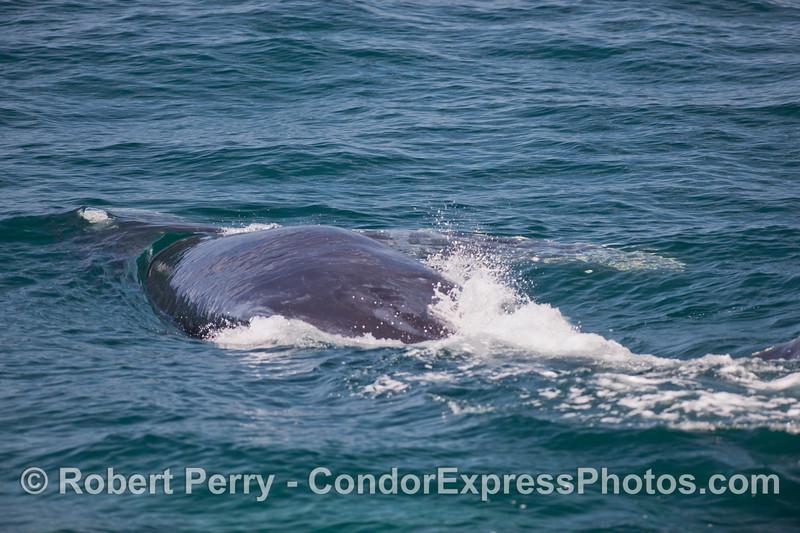 A close approach by a Humpback Whale (Megaptera novaengliae).