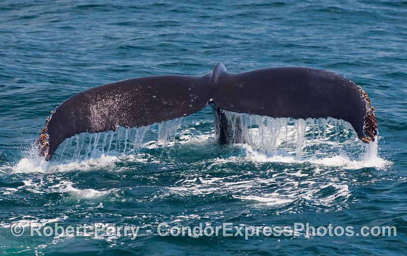 Waterfall - Humpback Whale (Megaptera novaengliae) tail flukes.