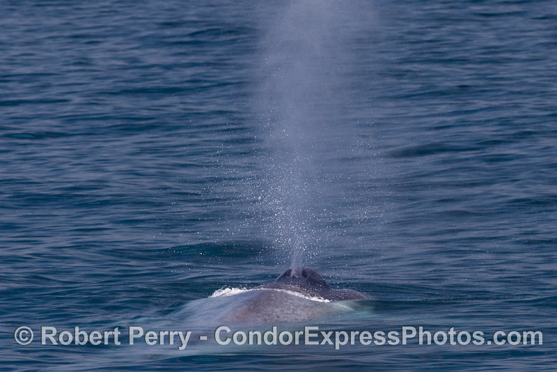 Close look at a Blue Whale (Balaenoptera musculus) exhaling.