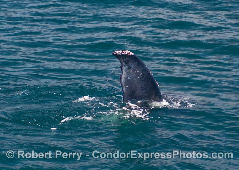 Tip of a tail fluke:   Humpback Whale (Megaptera novaengliae).