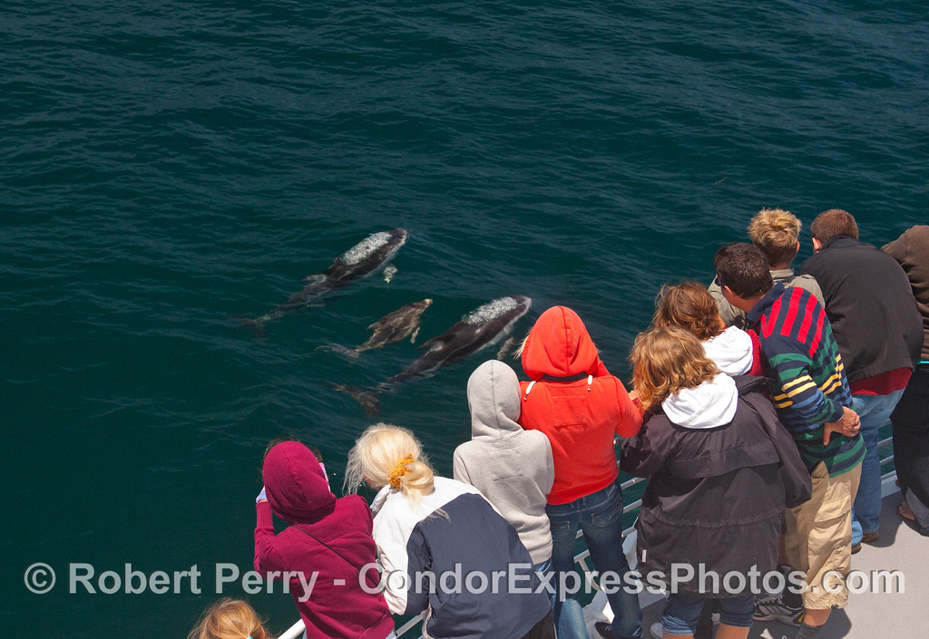 The Pacific White-sided Dolphins (Lagenorhyncus obliquidens) visit the whalers on board the Condor Express.  Image 1 of 2.