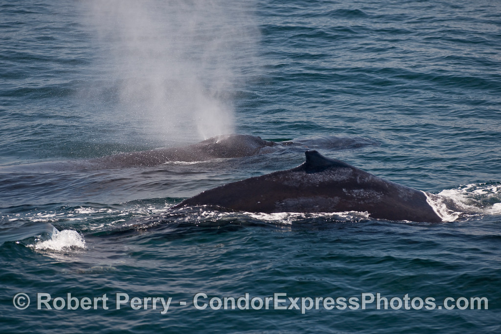 "Two Humpback Whales (Megaptera novaengliae), one spouts, one arches its ""hump."""