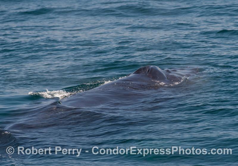 The splashguard and blowholes of a Humpback Whale (Megaptera novaengliae).
