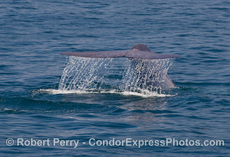Image 3 of 4:  Blue Whale (Balaenoptera musculus) tail fluke sequence...the waterfall.