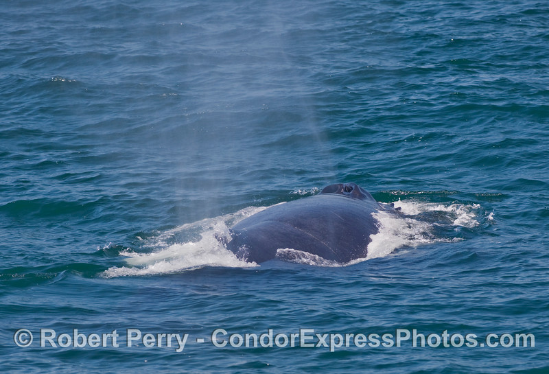 Twin exhaust pipes (blowholes) and back of an adult Humpback Whale (Megaptera novaengliae).