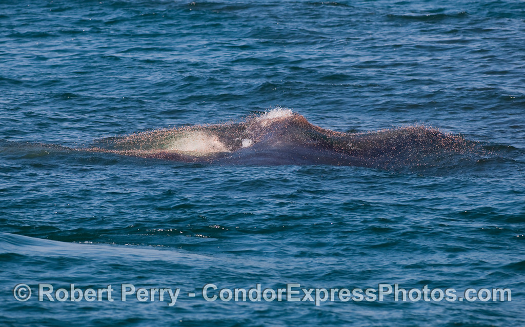 Image 3 of 4 in a series:   a lunging Humpback Whale (Megaptera novaengliae) just below the surface attacks a large ball of krill (Thysanoessa spinifera).