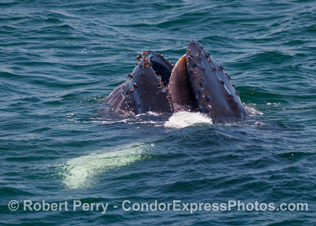 Image 3 of 5 in a series - a young Humpback Whale (Megaptera novaengliae) performs a vertical lunge to capture a ball of krill (Thysanoessa spinifera) near the ocean surface.