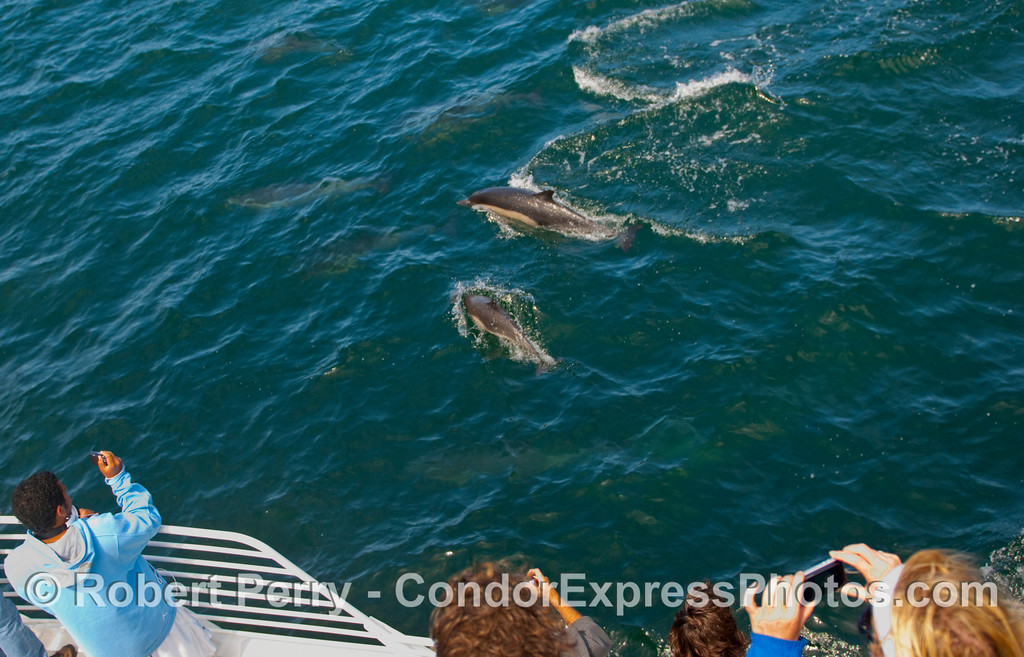"Whalers aboard the Condor Express experience a ""kodak moment"" as Common Dolphins (Delphinus capensis) make a close approach."