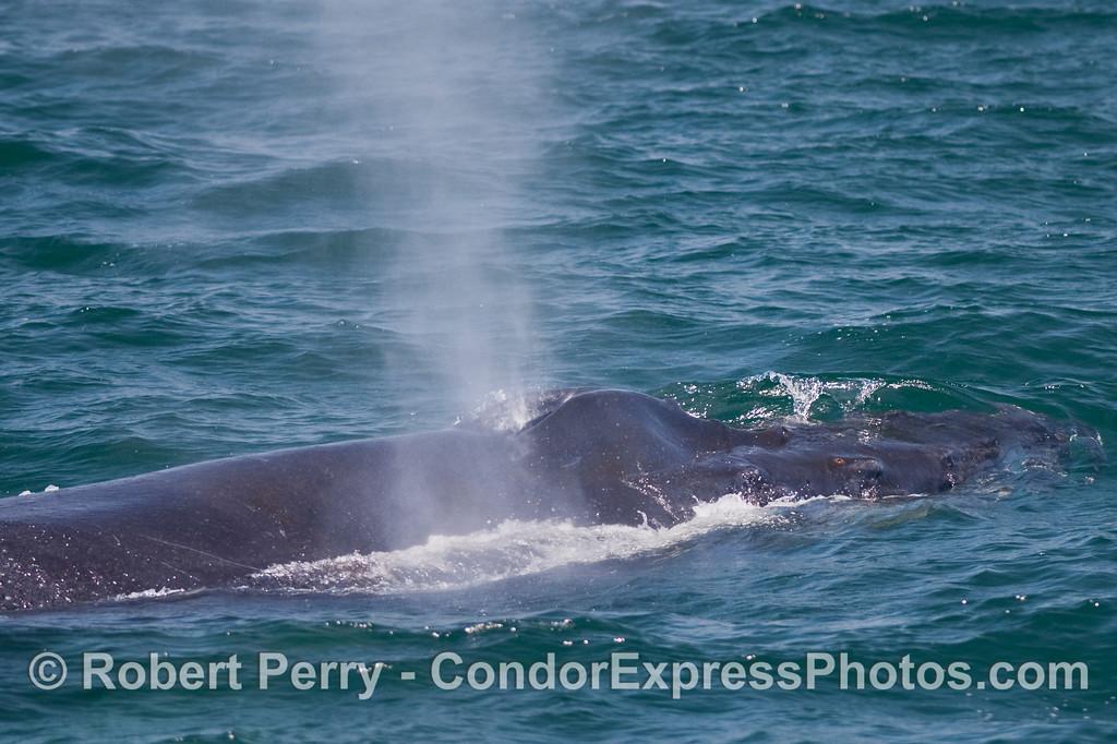 Humpback Whale (Megaptera novaengliae) head and spout.