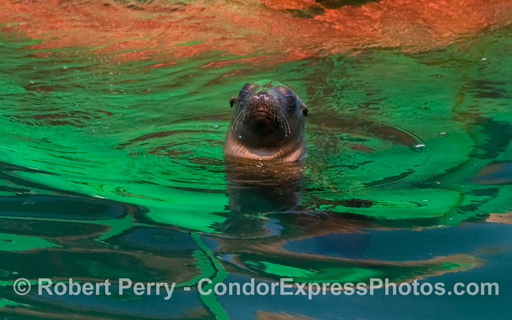A young California Sea Lion (Zalophus californianus) stares back at the whalers on board the Condor Express.  The multi-colored reflections are from the sun shining on the Santa Barbara harbor entrance buoy.