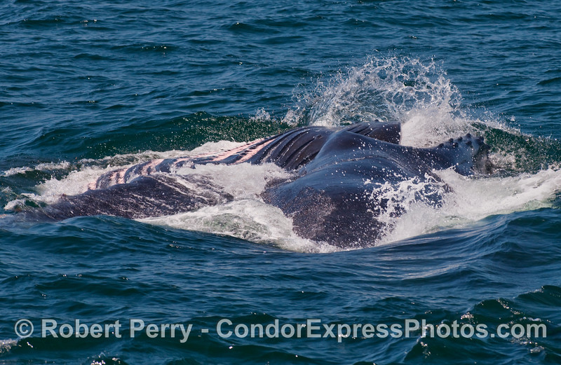 Image 2 of 2 in a row:   A mighty sideways lunge of a Humpback Whale (Megaptera novaengliae).  The hugely expanded accordionlike ventral pleats (left side of photo) can be seen here.
