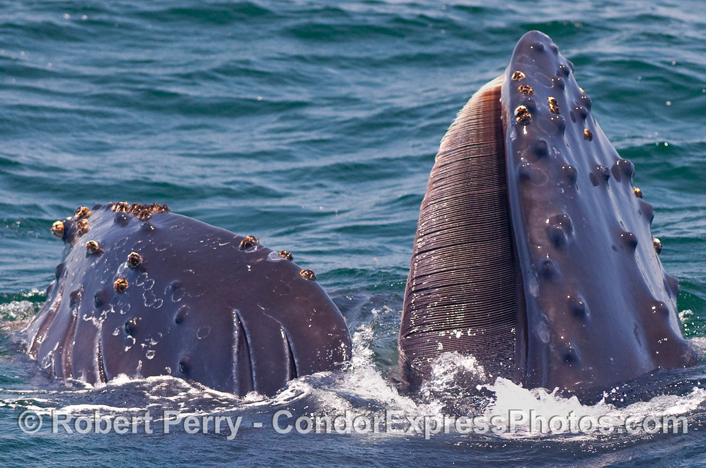 Image 2 of 5 in a series - a young Humpback Whale (Megaptera novaengliae) performs a vertical lunge to capture a ball of krill (Thysanoessa spinifera) near the ocean surface.  This is the same image as the previous, but enlarged to see the mouth and baleen close up.