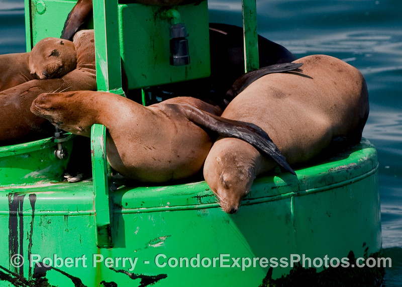 California Sea Lions (Zalophus californianus) on the harbor entrance buoy, Santa Barbara Harbor.
