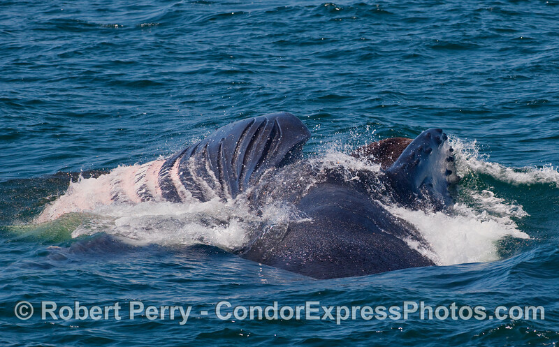 Image 1 of 2 in a row:   A mighty sideways lunge of a Humpback Whale (Megaptera novaengliae).  The baleen in the upper jaw (right side of photo), and the expanded accordionlike ventral pleats (left side of photo) can be seen here.
