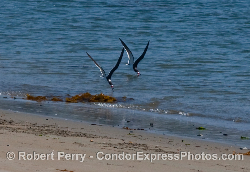 "A pair of Black Skimmers (Rynchops niger) feed in very shallow water along the beach inside Santa Barbara Harbor.  This species is the only kind of bird that  has a larger lower jaw than upper, and as shown here, the lower jaw ""skims"" the water to capture fish."
