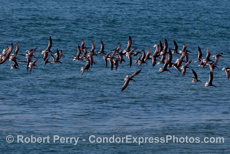 A flock of Black Skimmers (Rynchops niger) in flight.