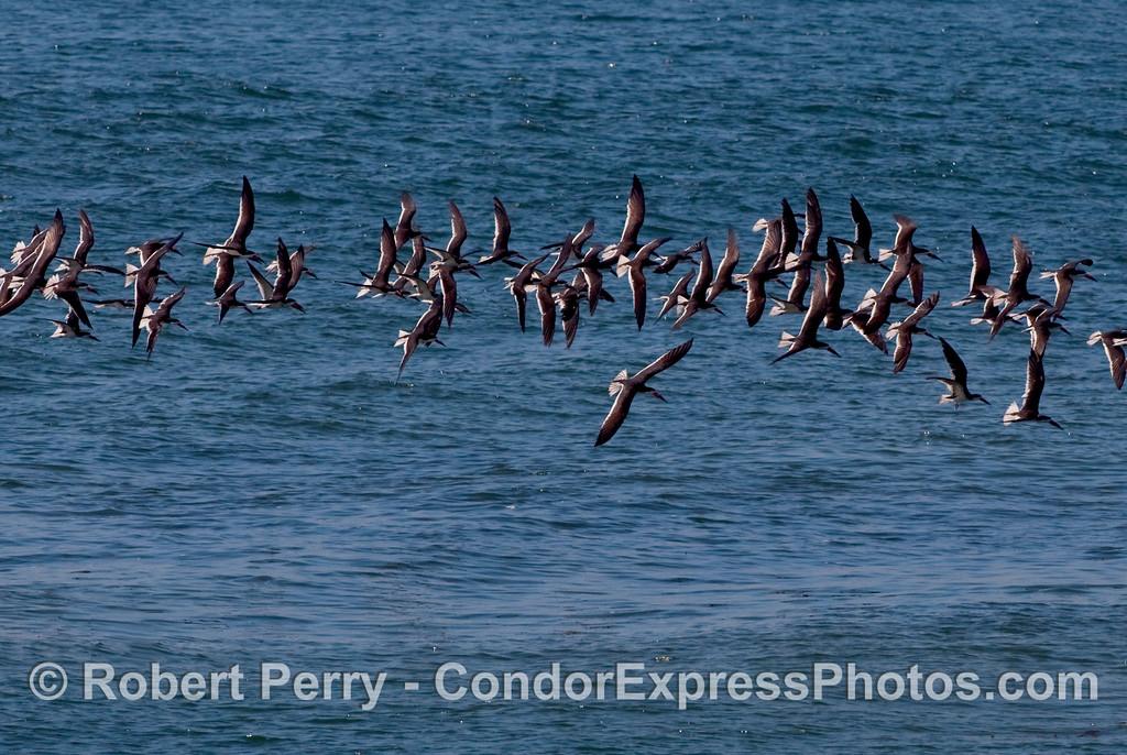A flock of Black Skimmers (Rynchops niger) in flight.