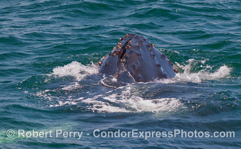 Image 5 of 5 in a series - a young Humpback Whale (Megaptera novaengliae) performs a vertical lunge to capture a ball of krill (Thysanoessa spinifera) near the ocean surface.