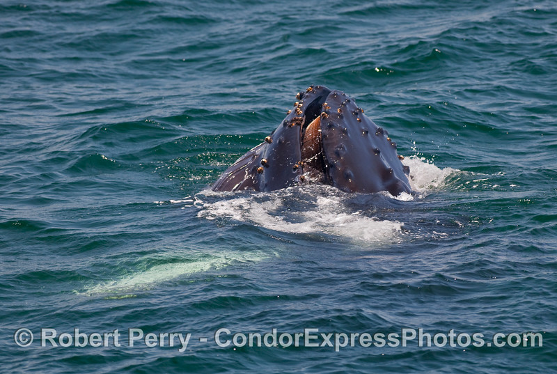 Image 4 of 5 in a series - a young Humpback Whale (Megaptera novaengliae) performs a vertical lunge to capture a ball of krill (Thysanoessa spinifera) near the ocean surface.