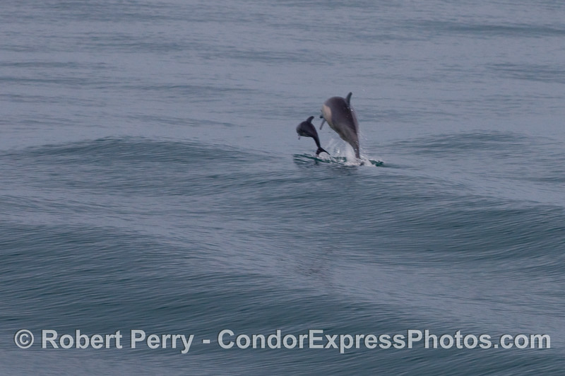 A mom and  her calf take a leap over the glassy waves - Common Dolphins (Delphinus capensis).