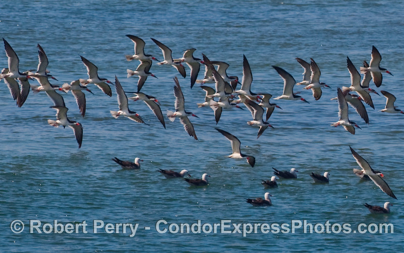A flock of Black Skimmers (Rynchops niger) in flight.   A few Heermann's Gulls (Larus heermanni) are sitting in the water.