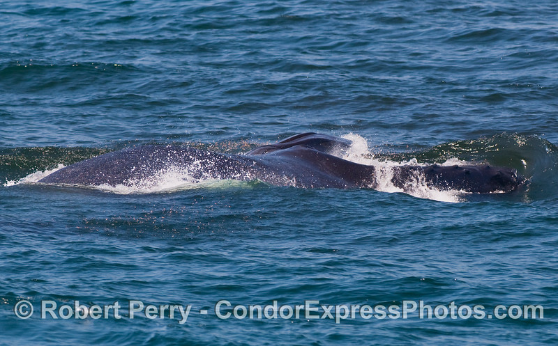 Image 4 of 4 in a series:   a sideways-lunging Humpback Whale (Megaptera novaengliae) with its mouth wide open engulfs a large ball of krill (Thysanoessa spinifera).  The upper jaw can be seen on the right, the lower jaw, with its expanded accordionlike pleats, is on the left.