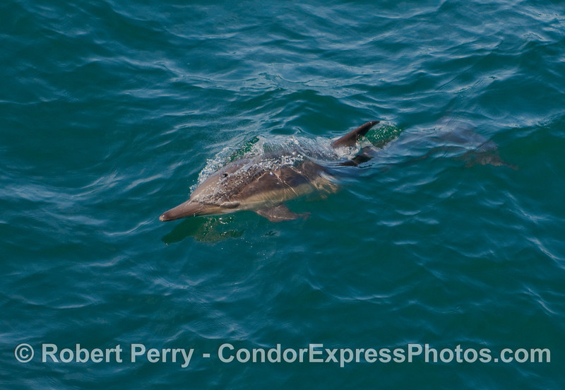 Another friendly Common Dolphin (Delphinus capensis) pays a visit to the whalers on board the Condor Express.