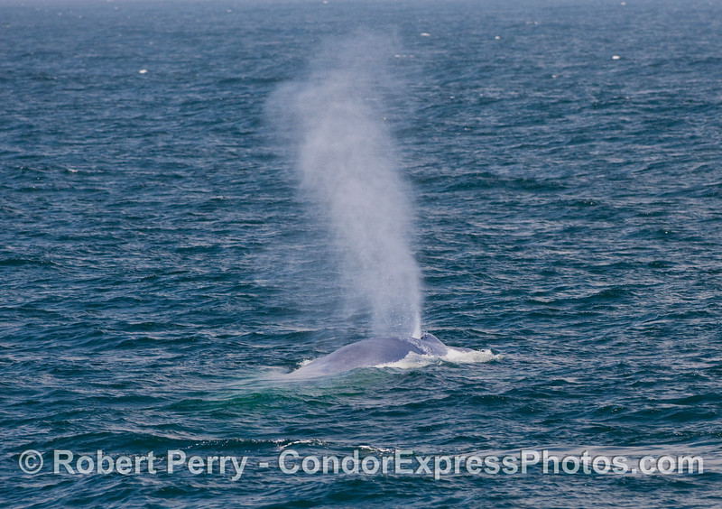 """How did you know that was a Blue Whale (Balaenoptera musculus) way out there on the ocean?""   The tall columnar spout gives a clue."