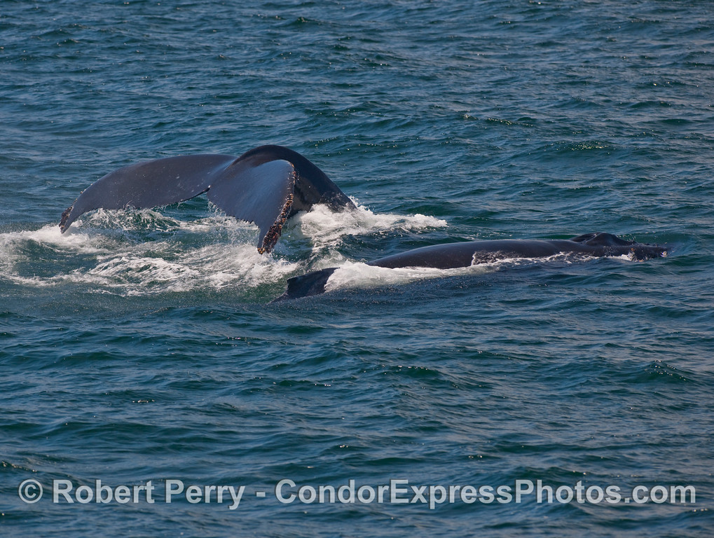 Two Humpback Whales (Megaptera novaengliae) show the whalers a tail fluke and dorsal fin, side by side.