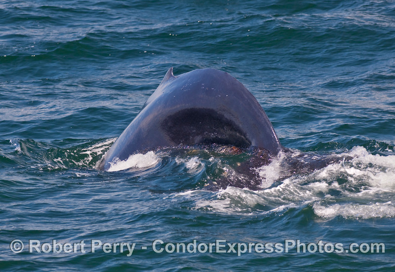 """A whale """"humps up"""" with its back arched as it heads for the deep - Humpback Whale (Megaptera novaengliae)."""