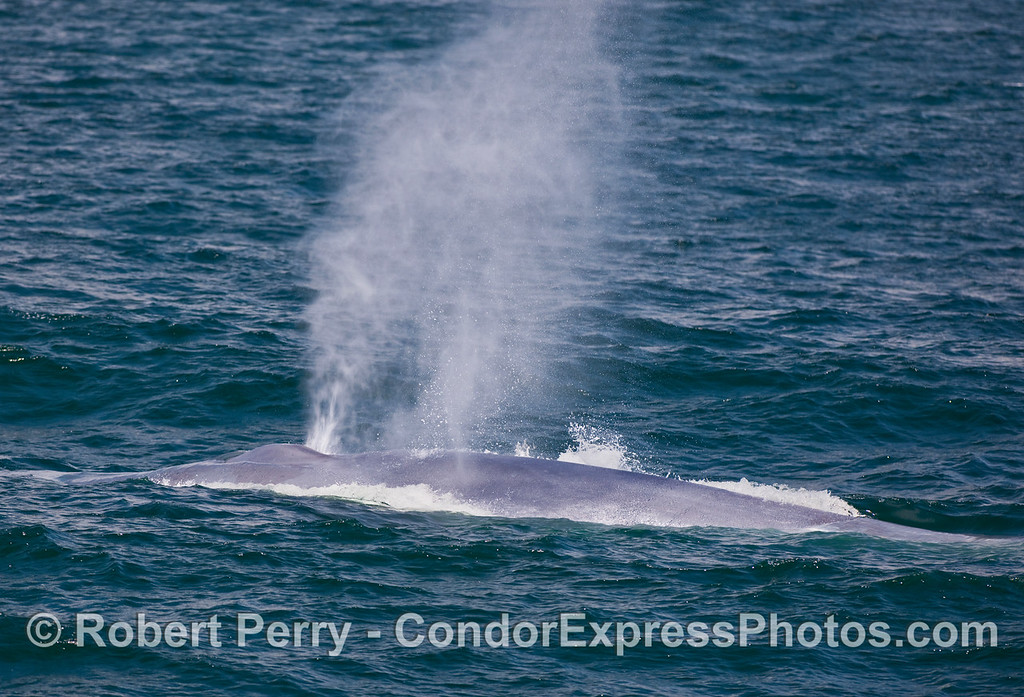 A nice, close approach by a behemoth Blue Whale (Balaenoptera musculus) as it spouts into the breeze.