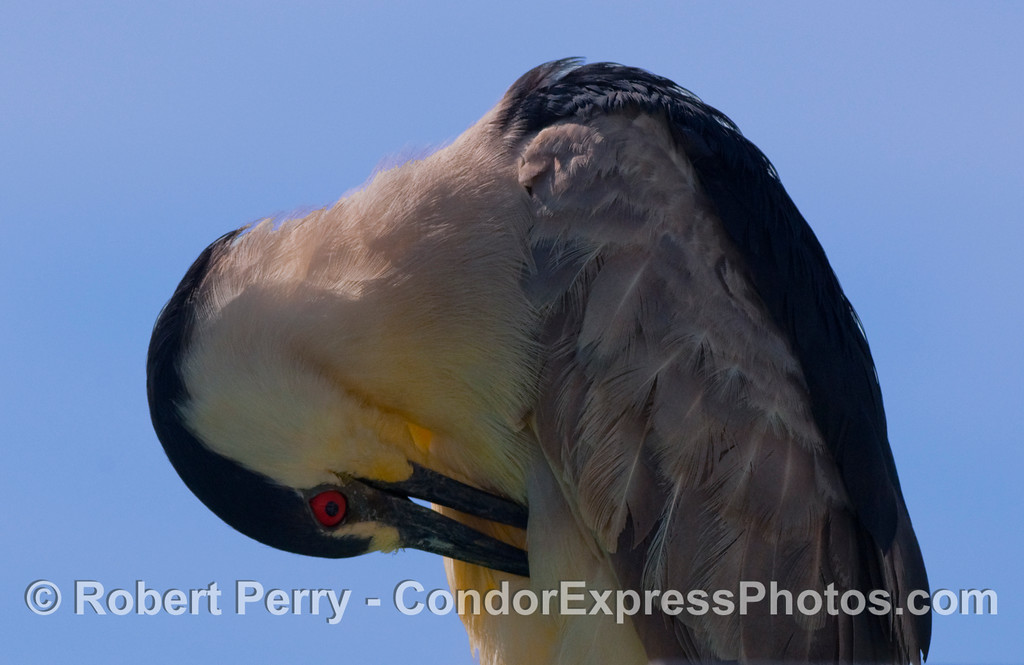 A Black Crowned Night Heron (Nycticorax nycticorax) cleans its belly feathers.