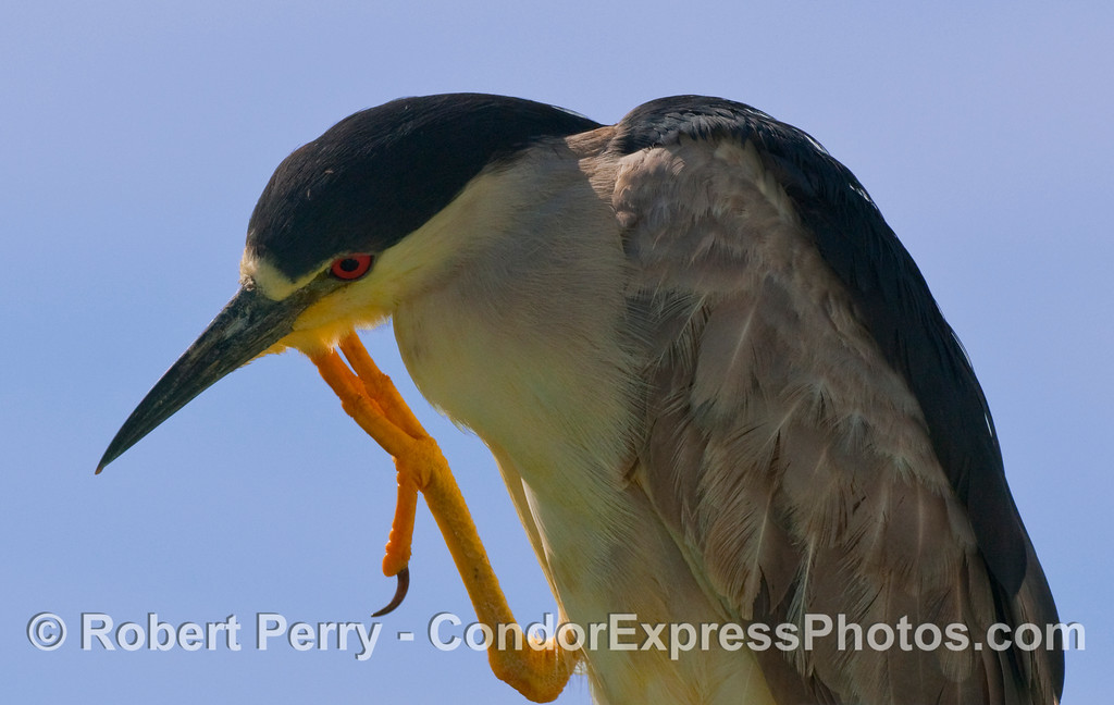 A Black Crowned Night Heron (Nycticorax nycticorax) scratches its chin.