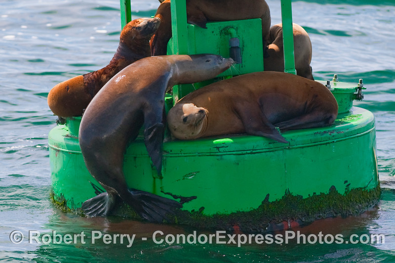 A California Sea Lion (Zalophus californianus) is caught in the act of climbing up on the Santa Barbara Harbor entrance buoy.