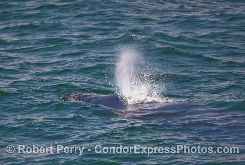 A Humpback Whale (Megaptera novaengliae) head and spout, close up.