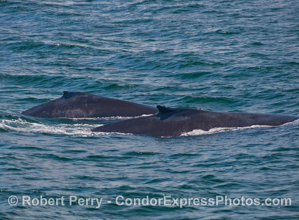 Twice the humps...two Humpback Whales (Megaptera novaengliae) show their dorsal fins...a mom with her calf.