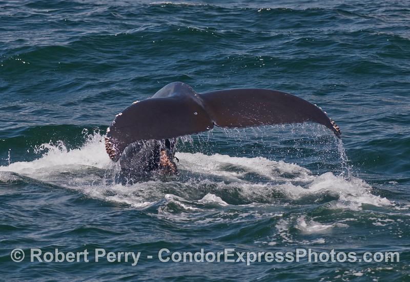 Humpback Whale (Megaptera novaengliae) tail fluke waterfall.