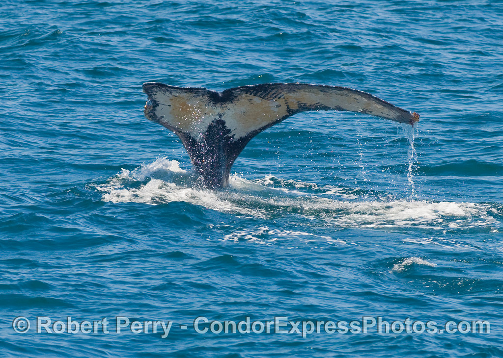 A Humpback Whale (Megaptera novaengliae) tail ravaged by Orcas.