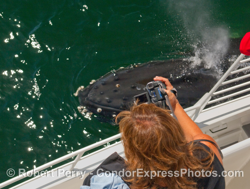 Kodak moment.  A Humpback Whale (Megaptera novaengliae) mugs the Condor Express and allows whalers on board to get an up close and personal look.